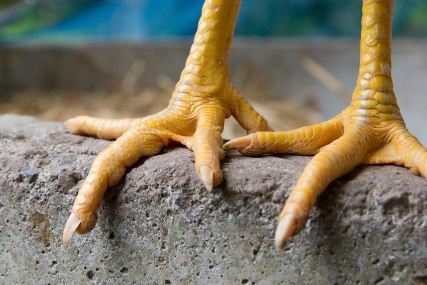 A pair of chicken feet