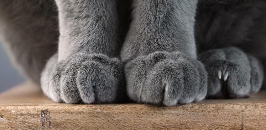 Nærbilde av potene til en grå katt.