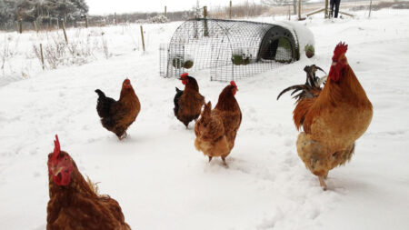 Chickens outside in the snow with their Eglu Go