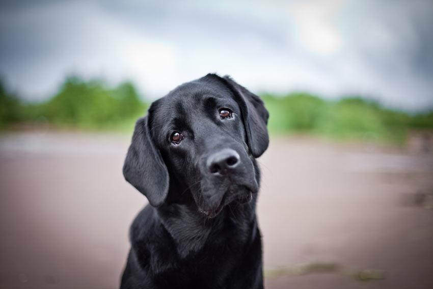 En nydelig, svart labrador retriever med hodet på skakk og triste, brune øyne.