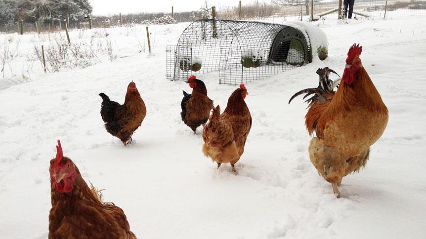 Noen gyldenbrune høner i forgrunnen av en Eglu Classic, dekket av snø.