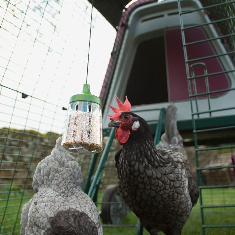 En sort høne med rød hanekam som hakker på en hakkeleke plassert inni luftegården på et Eglu hønsehus.
