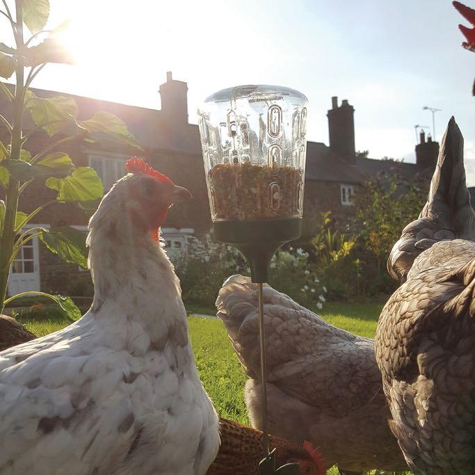 En hønseflokk som koser seg i solen med en hakkeleke satt ned i bakken. En høne hakker, og de andre søker etter godbitene i gresset.