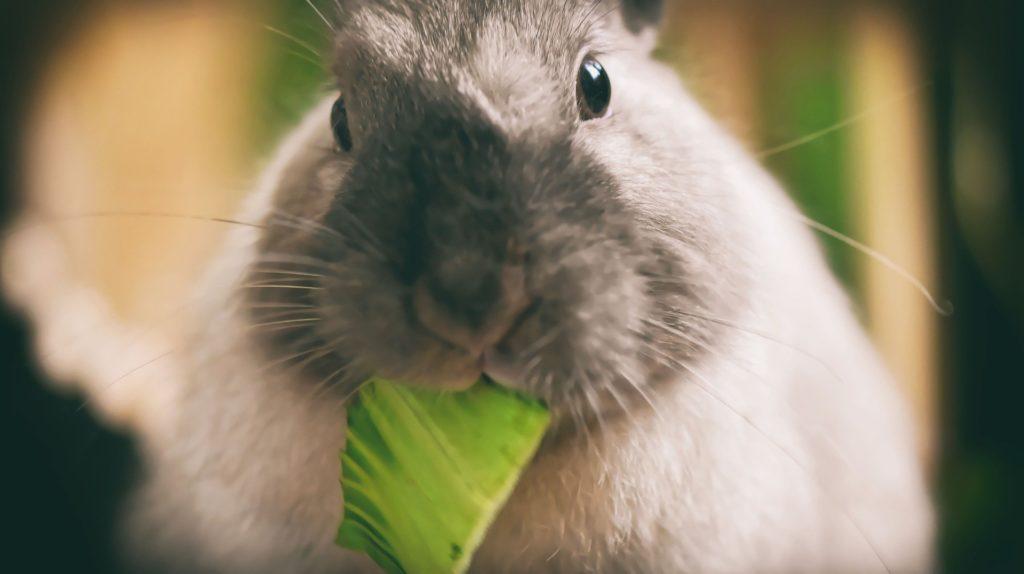 Et nærbilde av en hvit, grå og svart kanin som ser inn i kameraet mens den spiser på et salatblad.