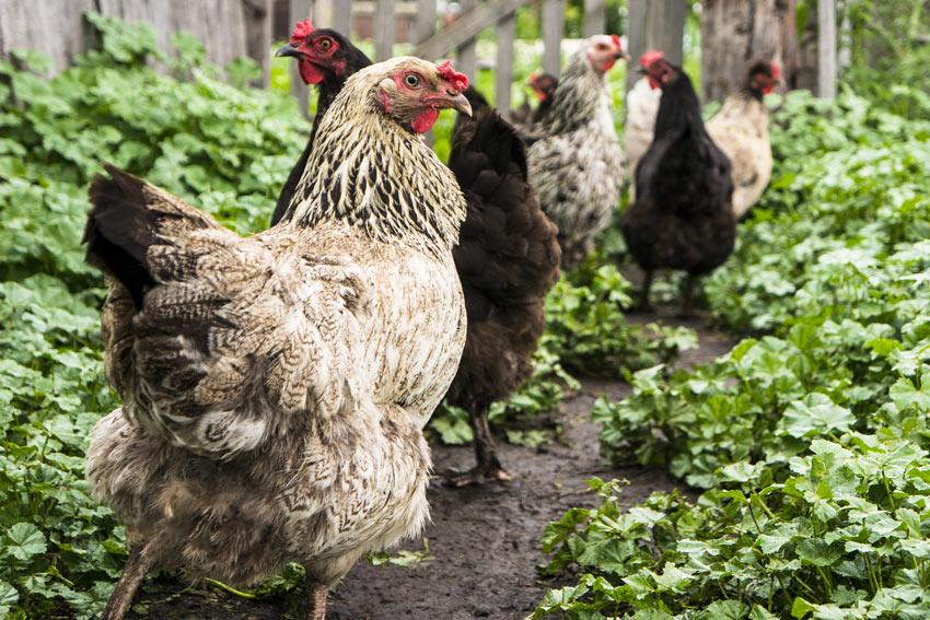 Brun-grå og sorte frittgående høns i en hage.