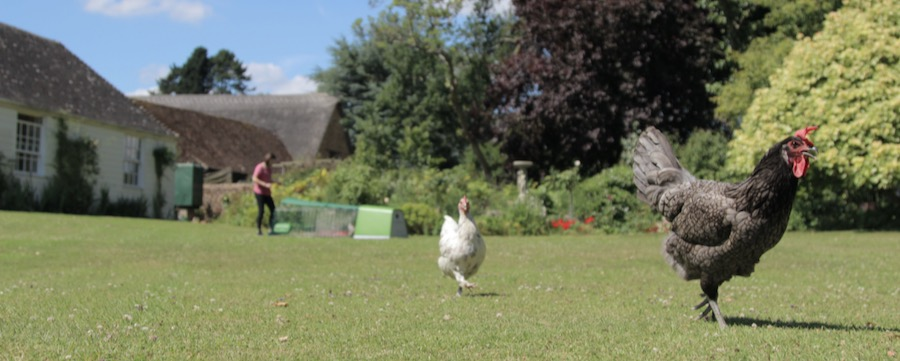 En svart og en hvit høne som går fritt rundt i hagen, med et Eglu hønsehus i bakgrunnen.