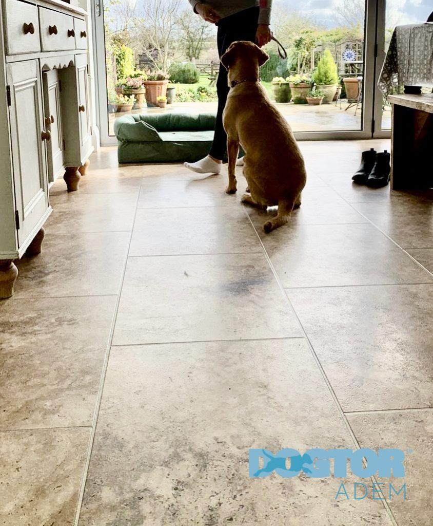 En hvit labrador retriever sitter pent foran eieren sin og Bolster hundesengen sin i grønn, mens den venter på neste kommando.