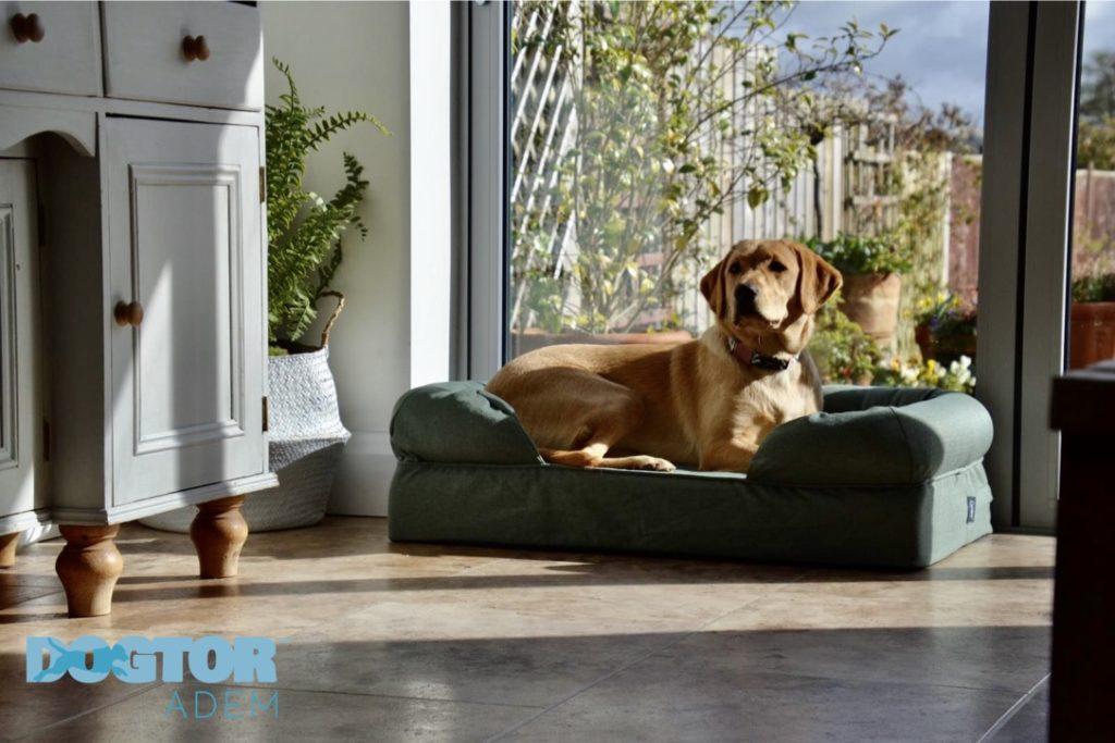 En labrador retriever som ligger i en grønn Bolster hundeseng fra Omlet plassert ved vinduet med utsikt over hagen.