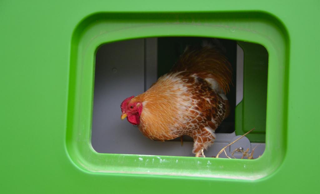 En oransje og brun høne i sitt grønne Eglu hønsehus.