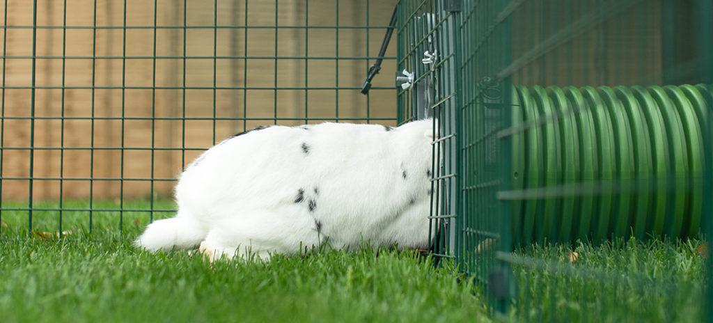 En hvit og svartflekkete kanin i luftegården sin som er på vei gjennom Zippi tunnelsystemet, på vei til buret sitt.