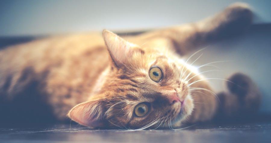 En oransje-stripete katt med grønne øyne som ligger på siden på gulvet og ser inn i kameraet.
