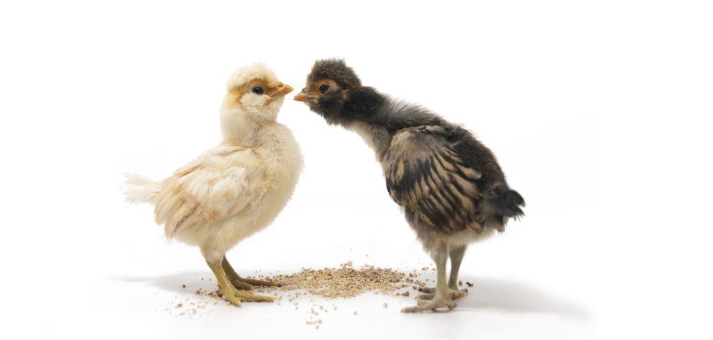 To kyllinger, en gul og en svart og hvit, som står vendt med nebbene mot hverandre og studerer hverandre fra topp til tå.