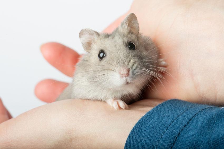 En grå, sølvfarget dverghamster med sorte, store øyne som sitter rolig i hendene på eieren sin.