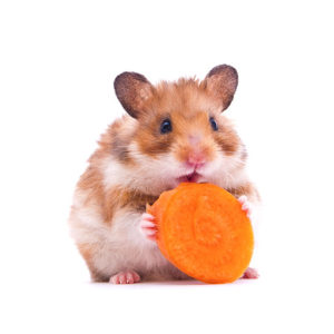 En gullhamster som står på bakbeina og spiser på en skive gulrot.