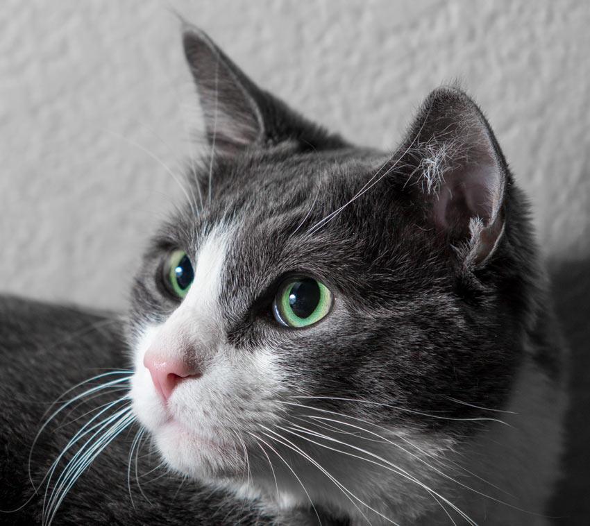 Et nærbilde av en grå og hvit katt med grønne øyne og hvite værhår.