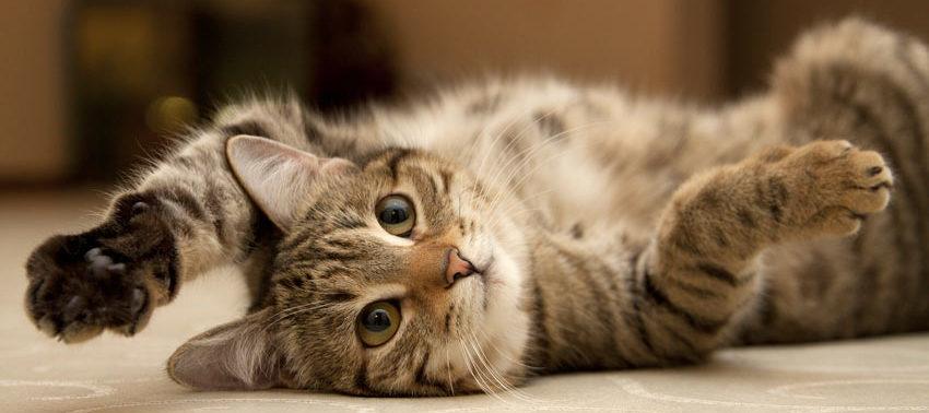 En blandingsraset, grå tabby-katt som ligger på ryggen med potene i været.