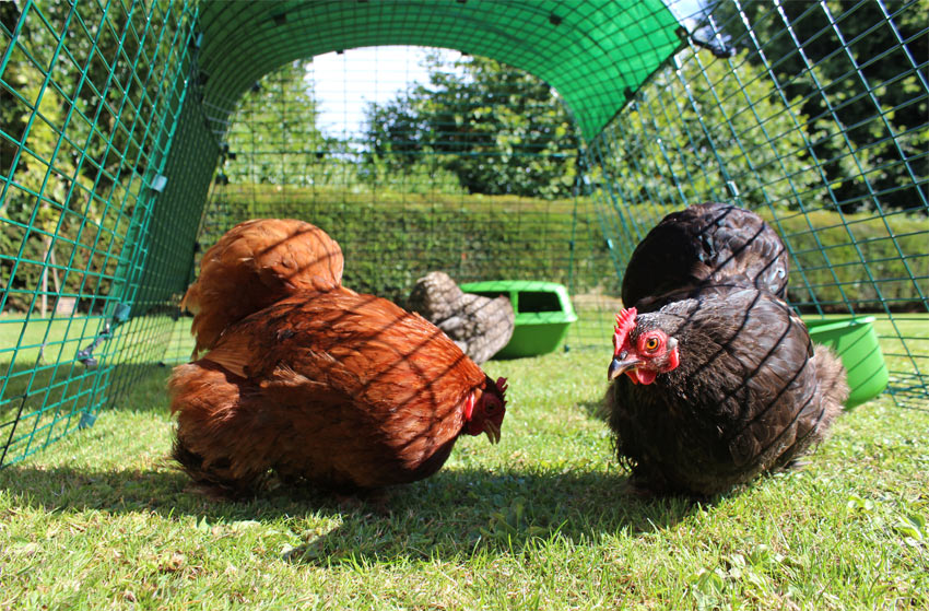 En svart og en brun høne som ligger og slapper av trygt inni den utvidbare luftegården deres fra Omlet.