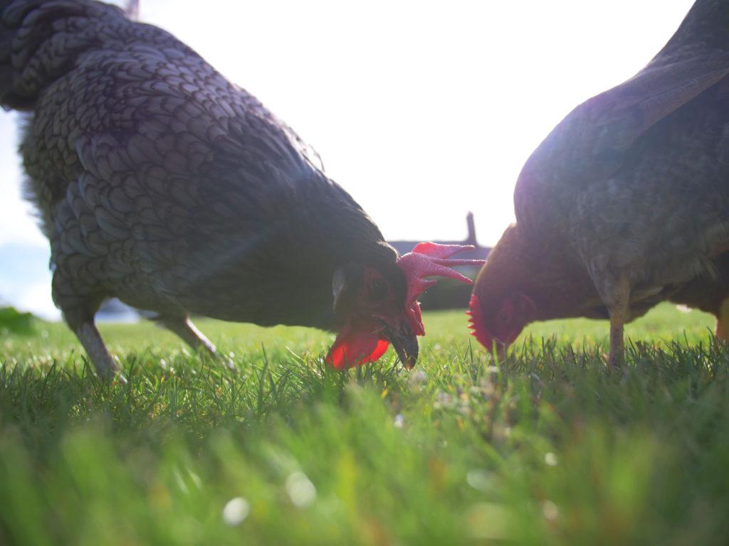 Et nærbilde av to sorte høns med røde kammer og hakeflapper som hakker etter insekter i det grønne gresset.
