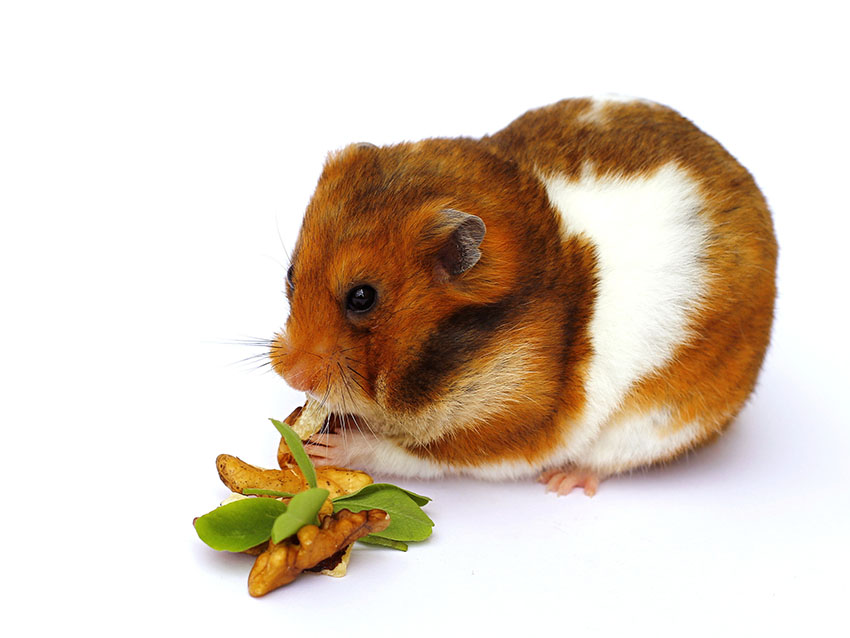 En brun og hvit hamster som spiser på valnøtter, blader og potet.