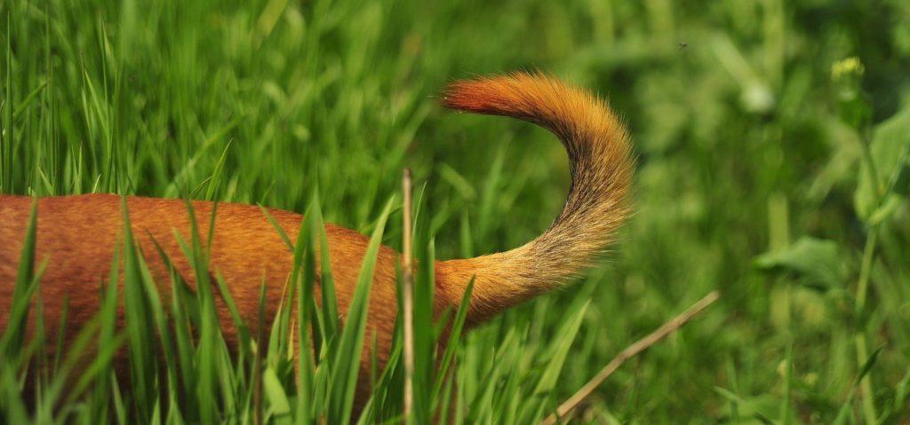 Et nærbilde av bakdelen til en hund med gyldenbrun, stri pels og halen i været, omgitt av masse grønt gress.