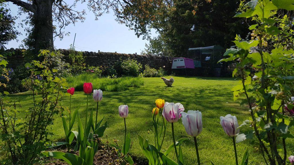 En grønn og flott hage med gjerde i bakgrunnenn, tulipaner i forgrunnen, og en hvit høne som går over det grønne gresset midt i bildet.