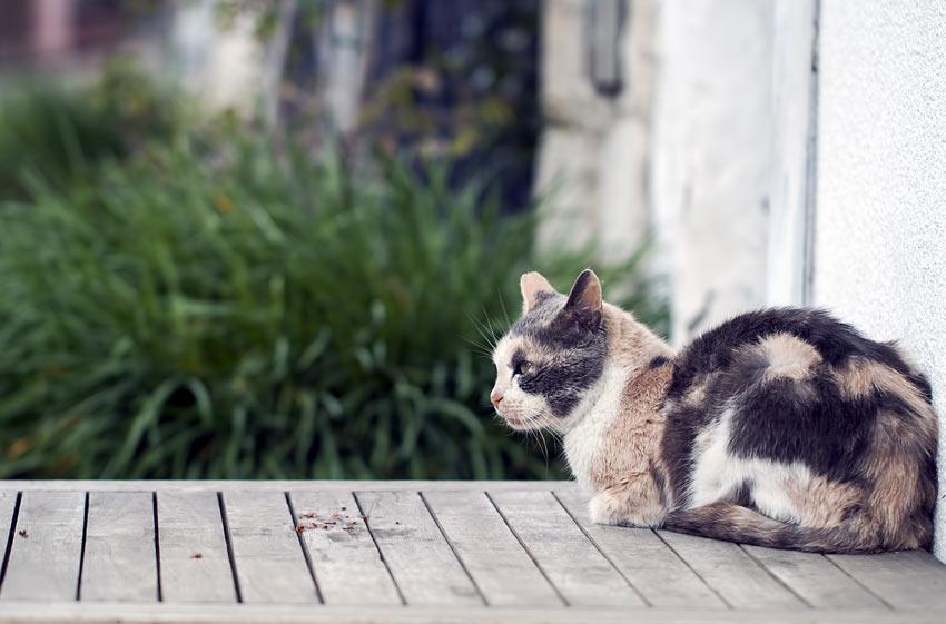En tricolor/tricolour katt som sitter på terassen med potene under brystet og halen tett liggende inntil kroppen.