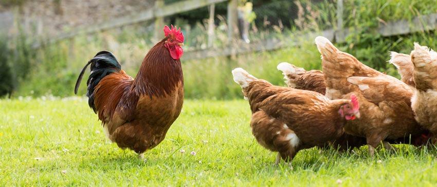 En brun hane med rød hanekam og hakelapper som følger med høneflokken sin som går rundt på gresset.