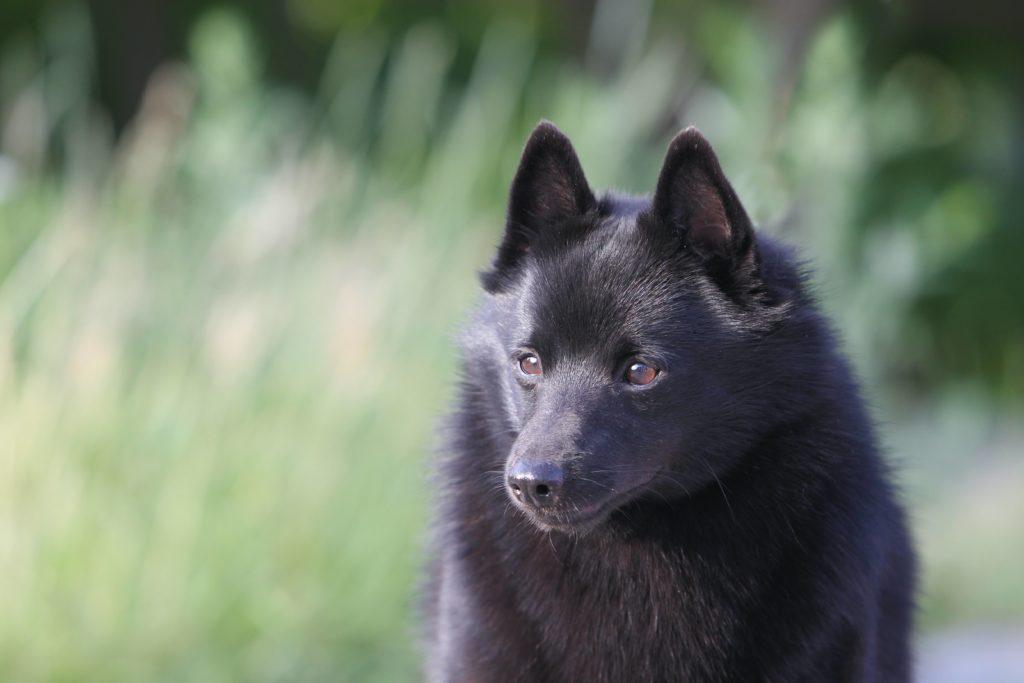 Et nærbilde av en Schipperke-hund med små, brune øyne og svart, tykk, myk pels.