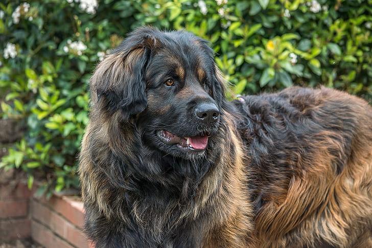 Et nærbilde av en kaukasisk gjeterhund/ovcharka sett fra siden. Hunden er stor av størrelse og har tykk, brun og svart pels, svart snute og brune øyne.