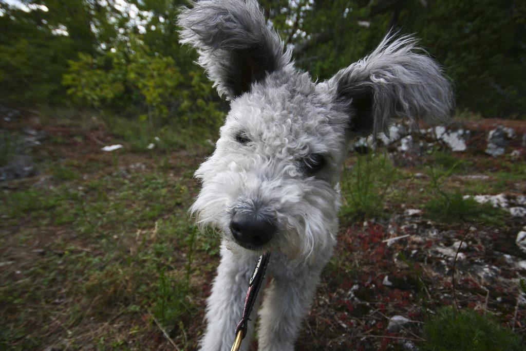 Et nærbilde av en Pumi hund med grå, krøllete pels, svart snute og ørene pekende til hver side.