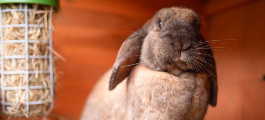 En lysebrun, lodden kanin med ørene hengende rett ned, inni kaninburet sitt med en Caddi godbitholder fyllt med høy i bakgrunnen.