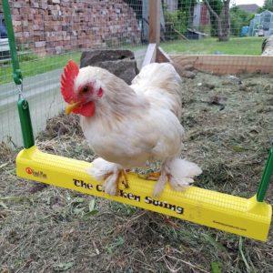 En liten, hvit høne sitter på hønsehusken sin med maiskolbe-lignende struktur som gir bedre grep for høns i alle aldre.