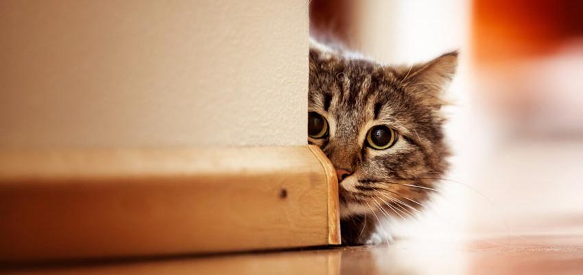 En stripete katt med grønne, store øye som har fått øye på noe rundt hjørnet.