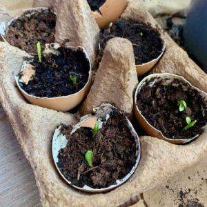 Eggeskall-halvdelene med jord har begynt å få grønne spirer som titter frem!
