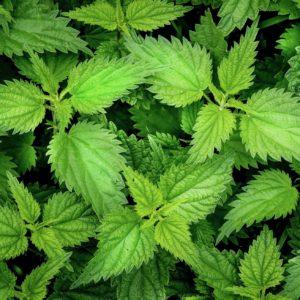 Et nærbilde av brennesle-blader