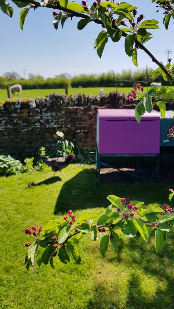 Grenene fra et tre i blomstring med Omlets Eglu hønsehus i bakgrunnen i en hage. Hønsehuset er plassert i skyggen for å kjøle det ned.