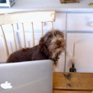 Terrier hunden Esme jobber hardt foran Macbook'en til eieren.