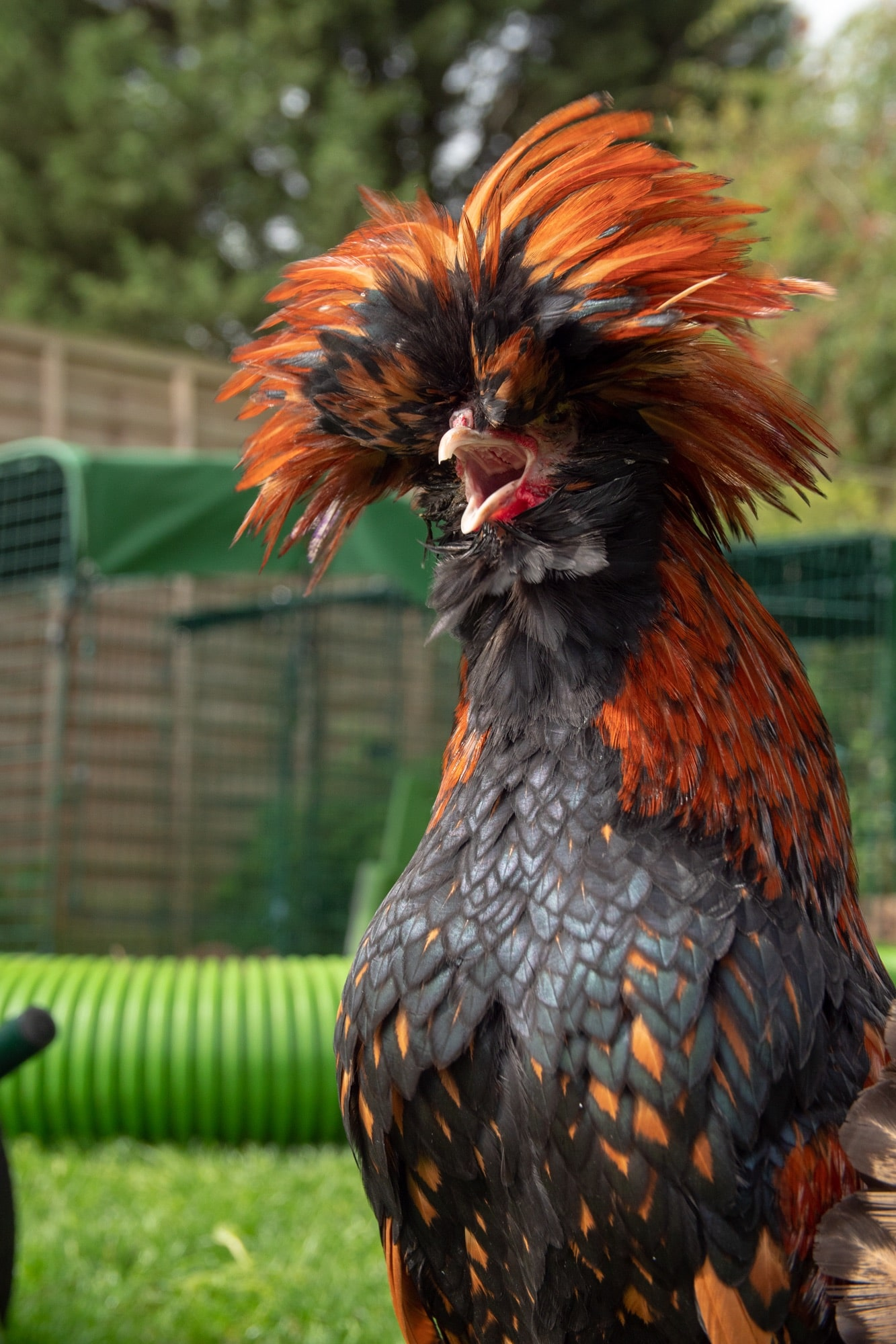 A long haired black and orange chicken with its beak wide open