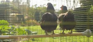 To høns som vagler og nyter sola og utsikten over hønsegården fra sin vagle/sittepinne for høns fra Omlet.