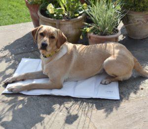 En gylden retriever-hund som ligger oppå Omlets kjølematte en varm sommerdag ute i hagen.