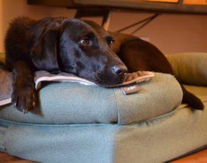 En svart retriever som har hodet tungt liggende på støttekanten av Omlets bolster memoryfoam hundeseng.