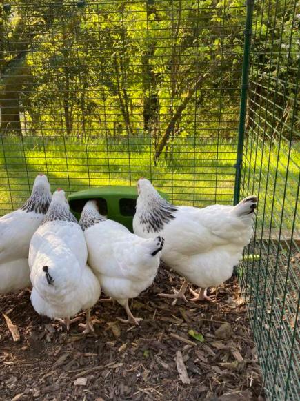 En flokk hvite høns som venter på tur for å få sin tur i matskålen i sitt Omlet hønsehus.