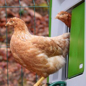twee bruine kippen die uit hun hok naar buiten kijken