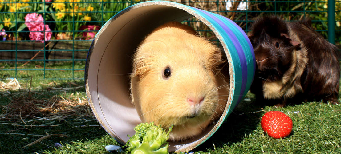 Guinea pig is eating salad