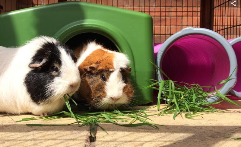 Guinea pigs are eating