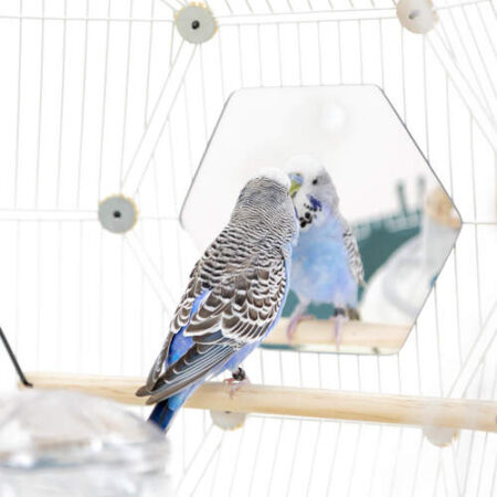 budgie looking into a hexagon mirror