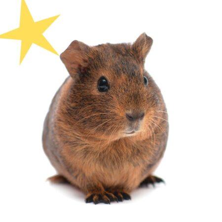 closeup of brown guinea pig
