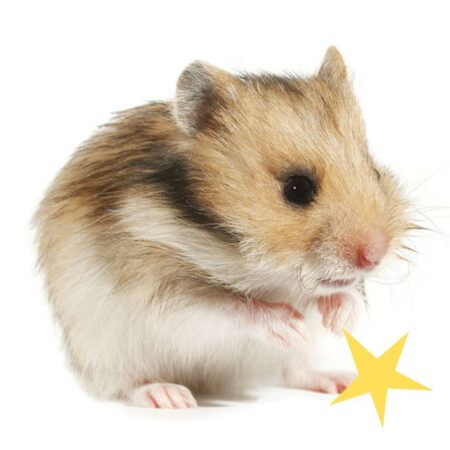 cute hamster cleaning itself