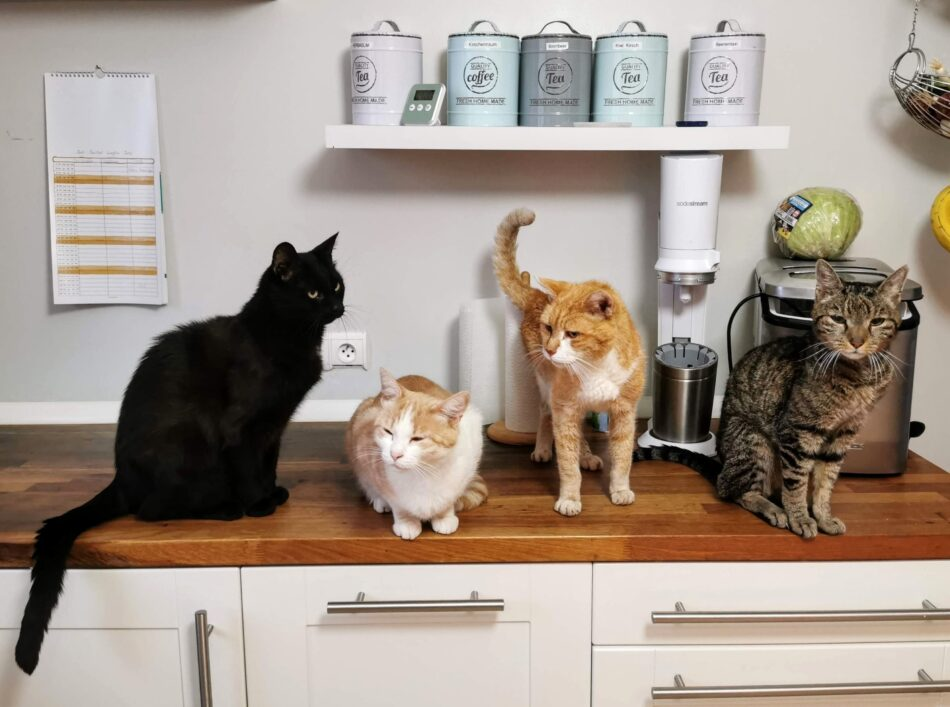 Four different types of cats on a kitchen countertop