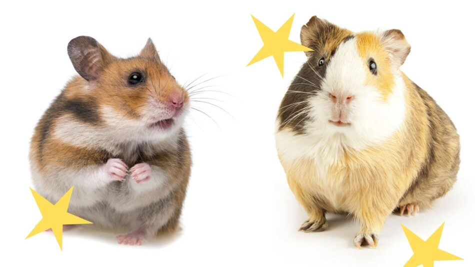 hamster and guinea pig next to each other with yellow stars